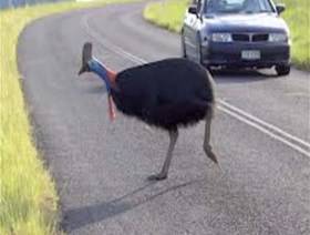 Karl the Cassowary