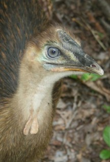 Cassowary juvenile, Photo: Campbell Clarke