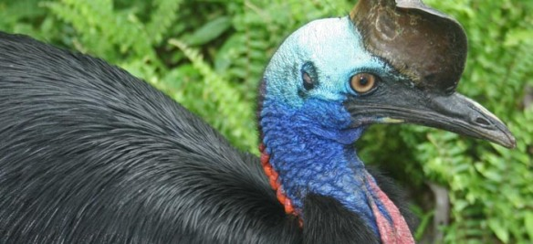 Cassowary, Photo: Campbell Clarke