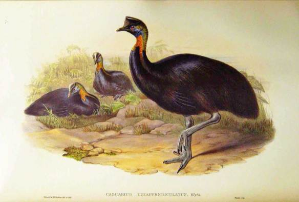 Casowary-uniappendiculatus