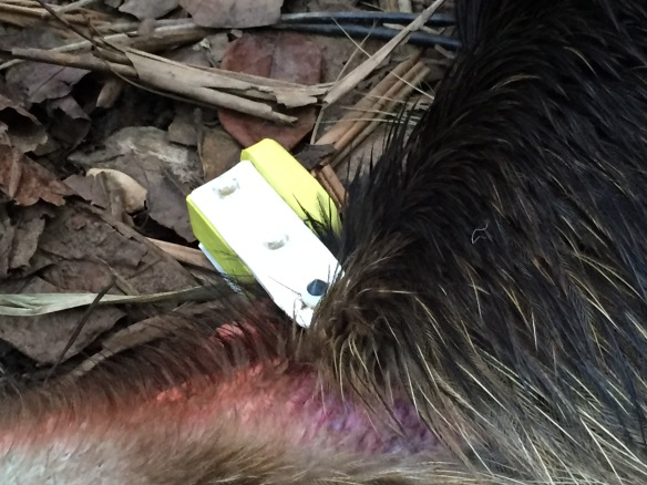 The tracking device attached to the back of the young cassowary's neck Photo: Graham Lauridsen