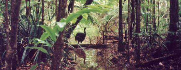Cassowary in rainforest Photo: Dave Kimble